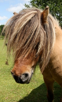 "The ""Bad Hair Day"" Horse. Source: http://wikimediafoundation.org/wiki/File:Bad_hair_day_-_Flickr_-_exfordy_%281%29.jpg"