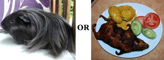 Lovely guinea pig with shiny hair...and cooked guinnea pig for dinner.  Images from Wikimedia.