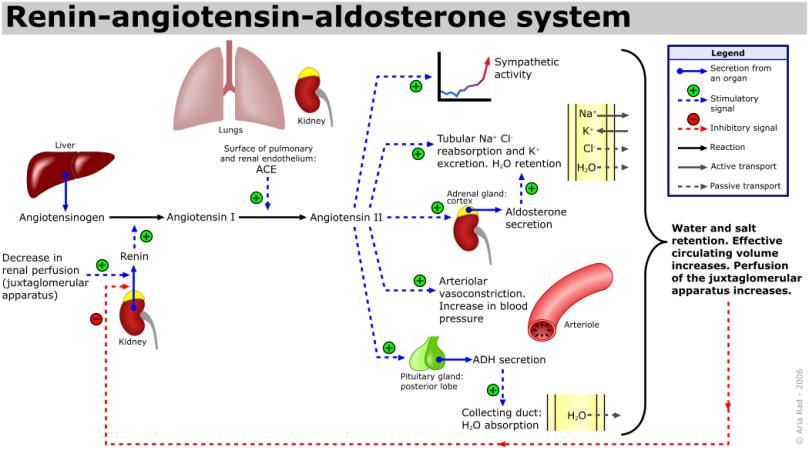 Renin-angiotensin-aldosterone_system