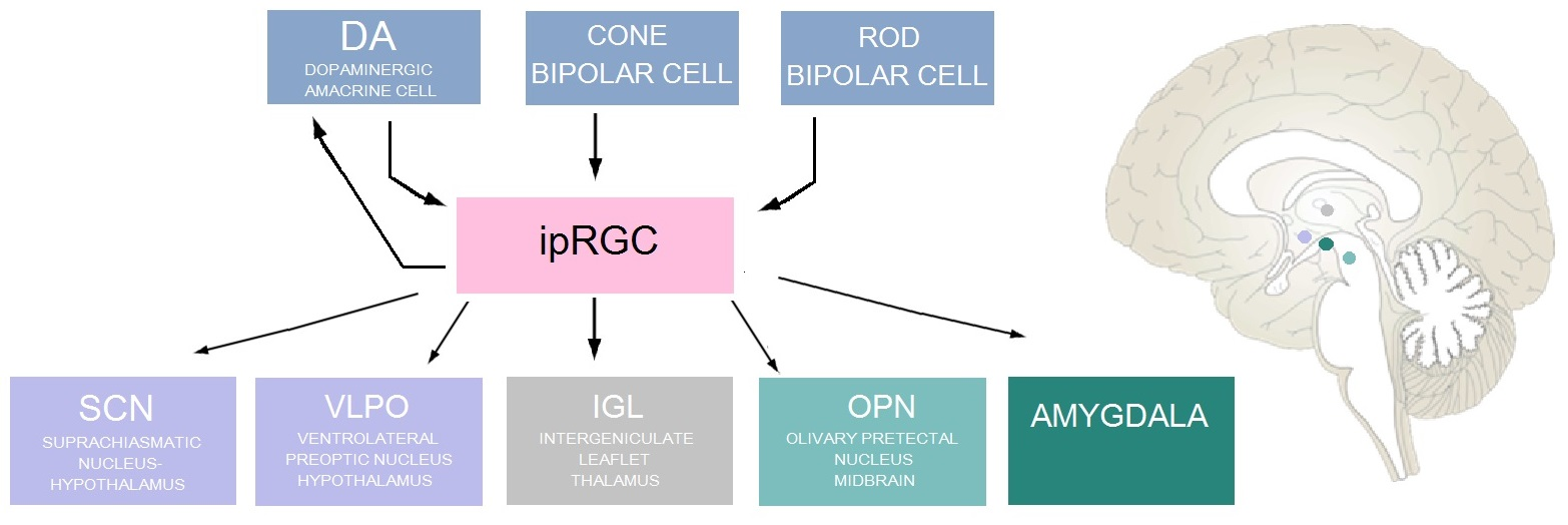 Diagram_of_inputs_and_outputs_of_ipRGC_1